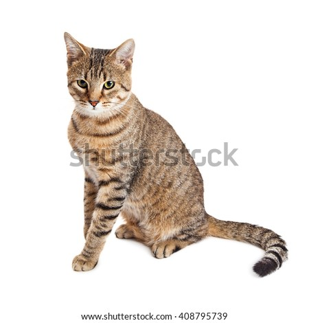 Pretty brown and black striped tabby cat sitting on white looking down