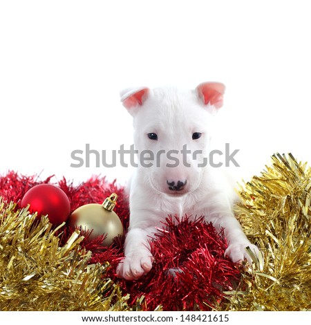 Pretty bull terrier pet on a christmas ornaments isolated on a white background