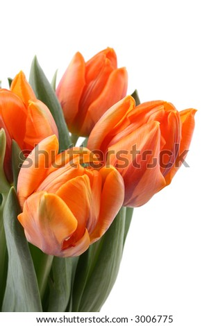 pretty bunch of orange tulips isolated on white
