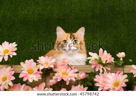 Pretty Calico cat behind picket fence with pink flowers