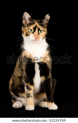 Pretty Calico cat on black background - stock photo