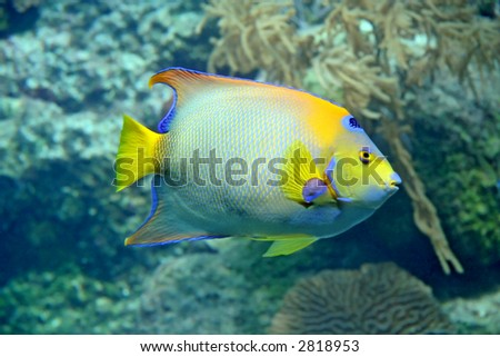 Pretty Caribbean coral reef fish - blue & yellow fins.