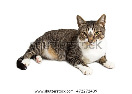Pretty cat with brown, black and white fur laying on a white background