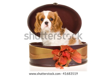 Pretty Cavalier puppy inside round gift box with bow, on white background
