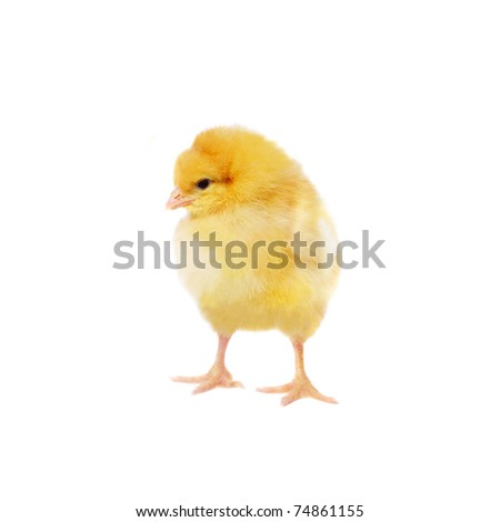 pretty chicken, isolated on white - stock photo