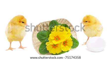 pretty chickens with egg and basket with primrose, isolated on white