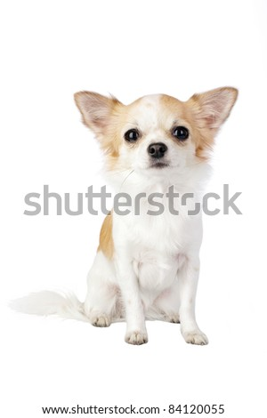 pretty Chihuahua dog portrait sitting isolated on white background - stock photo