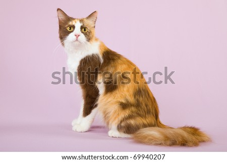 Pretty Chocolate Calico cat on pink background - stock photo