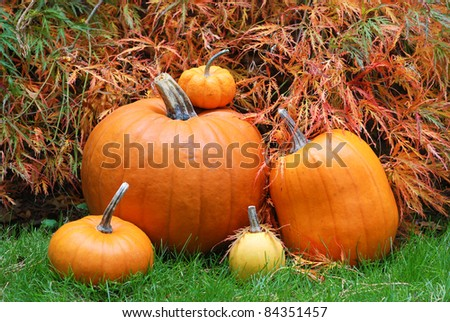 Pretty Closeup of Several Pumpkins of Various Sizes in Front of a Japanese Maple in a Garden, Backyard Setting. - stock photo