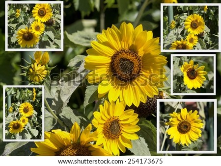Pretty collage of bright  circular sunflower Helianthus annuus  inflorescence  with rough hairy stems and leaves blooming in early autumn adding  a touch of brilliant yellow to the landscape. - stock photo