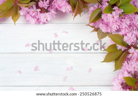 Pretty, colorful Pink Cherry Blossoms along top and side of Painted Rustic White Board Background with Petals and room or space for copy, text, your words.  Horizontal looking down from above.