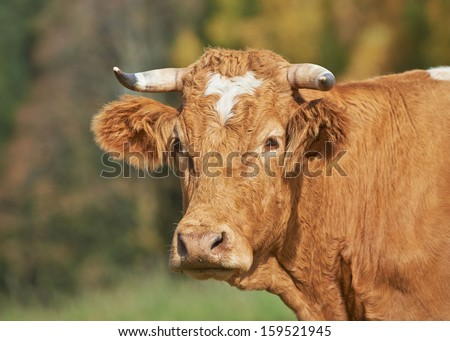 Pretty cow close up - stock photo