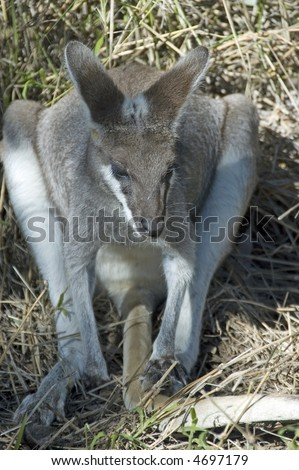 Pretty face wallaby resting on its haunches in scrub near Bowen, Queensland, Australia