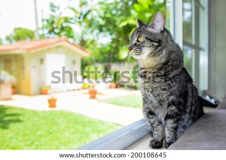 Pretty female domestic tabby cat in a home setting looking out the window. - stock photo
