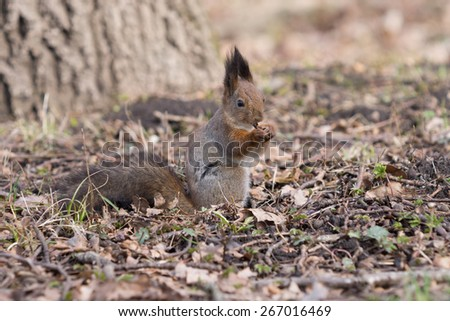 Pretty furry red squirrel eats a crust in the park. - stock photo