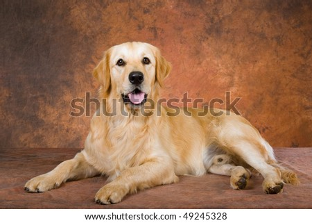 Pretty Golden Retriever on mottled brown background fabric - stock photo