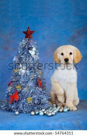Pretty Golden Retriever puppy with Xmas tree - stock photo