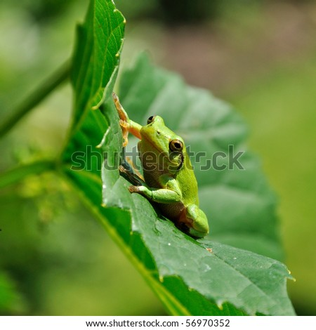 Pretty Green Frog (Hyla arborea) resting - stock photo