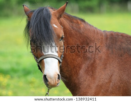 Pretty horse face close-up with a white blaze and black mane - stock photo