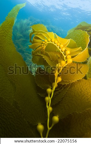 Pretty Kelp curves, Gaint Kelp (Macrocystis pyrifera), Southern California - stock photo