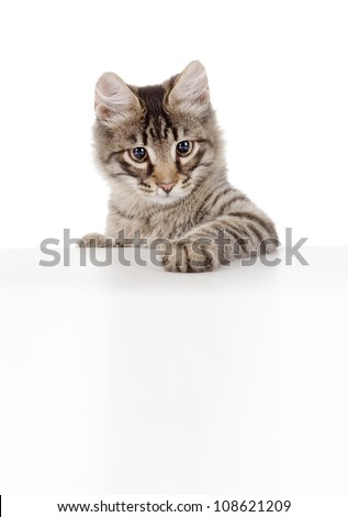 Pretty kitten peeking out of a blank sign. isolated on white background - stock photo