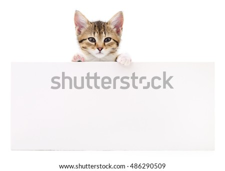Pretty kitten peeking out of a blank sign, isolated on white background