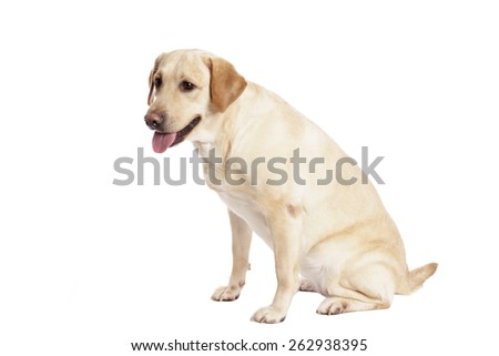 Pretty Labrador Retriever in front of white Background - stock photo