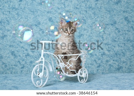 Pretty LaPerm kitten on miniature bicycle with soap bubbles - stock photo