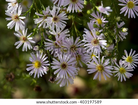 Pretty lilac mauve flowers of Aster amellus,  European Michaelmas-daisy  a perennial herbaceous plant of the genus Aster, belonging to  Asteraceae family in bloom in late summer and autumn is dainty. - stock photo