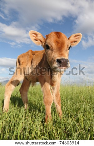 pretty little calf standing alone in green pasture - stock photo