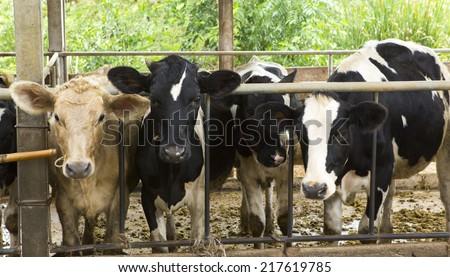 Pretty little calf standing in a stall. - stock photo