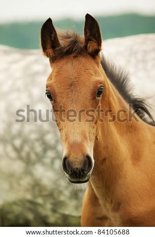 pretty little red  foal in field - stock photo