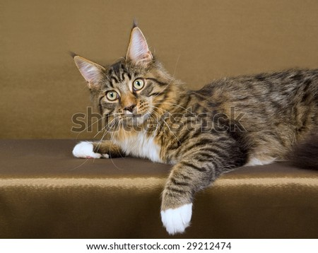 Pretty Maine Coon brown tabby with white on bronze background - stock photo