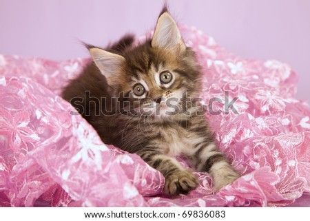 Pretty Maine Coon kitten on pink lace
