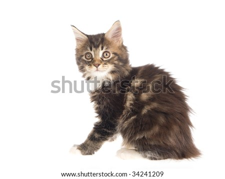 Pretty Maine Coon kitten on white background