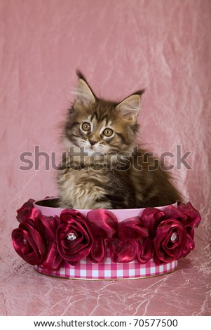 Pretty Maine Coon kitten sitting inside gift tin with burgundy fabric roses - stock photo