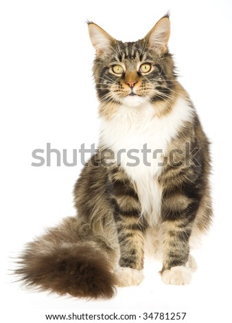 Pretty Maine Coon sitting on white background