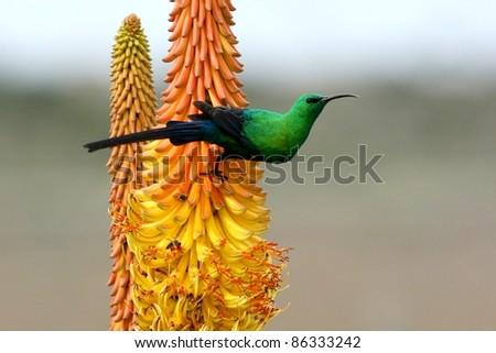 Pretty Malachite Sunbird feeding on an Aloe Flower - stock photo