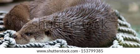 Pretty Otters, the members of Mustelidae family