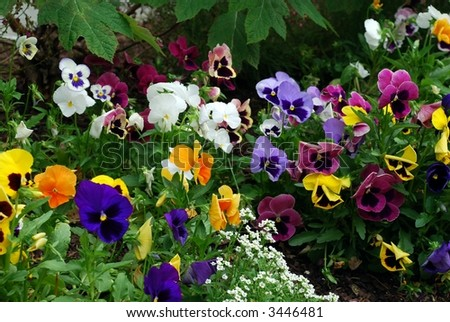 Pretty Pansy Patch - stock photo
