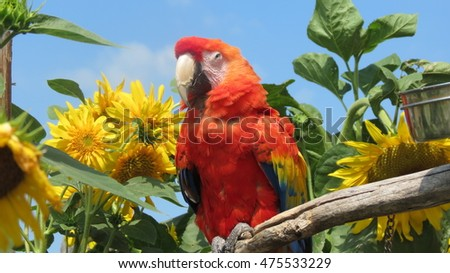 Pretty parrot in sunflowers