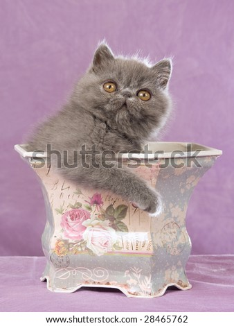 Pretty Persian kitten sitting inside Victorian planter container on lilac background - stock photo