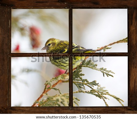 Pretty pine siskin perched on a cedar branch outside of a small farmhouse window in winter.  Part of a series. - stock photo