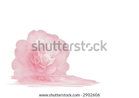 Pretty pink Camellia with reflection, on white background with copy space