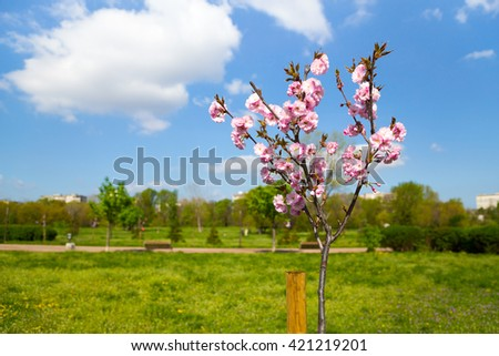 Pretty pink spring blossom on a Prunus serrulata sapling, or Japanese flowering cherry, planted in a rural field or garden cultivated for its ornamental flowers