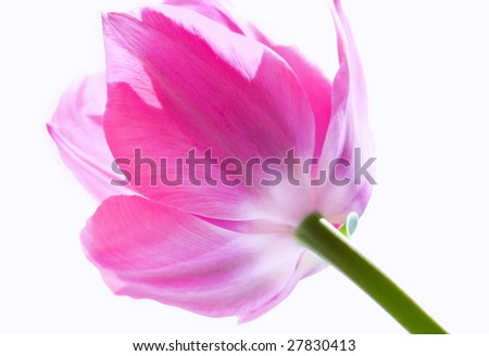 pretty pink tulip against white background