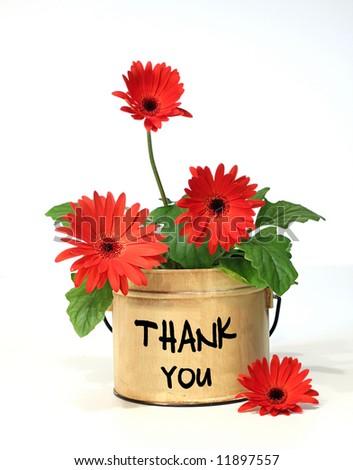 Pretty potted daisy - stock photo
