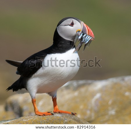 Pretty Puffin Pig - stock photo