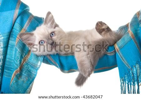 Pretty Ragdoll kitten in blue hammock, on white background - stock photo