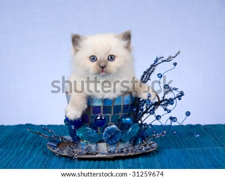 Pretty Ragdoll kitten in over sized cup with beads, on blue background - stock photo
